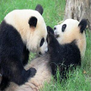 zaljubljene pande